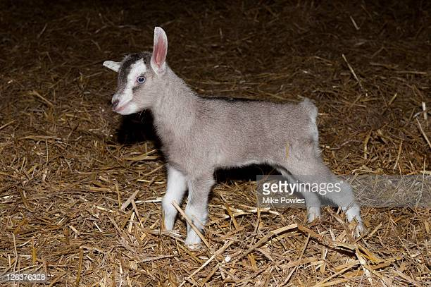 Goat (Capra aegagrus hircus) kid in Dutch barn, Springstep, Essex, UK