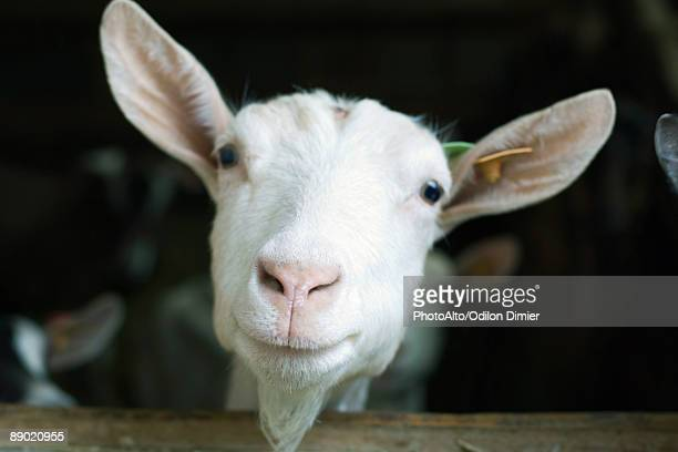 goat looking at camera - goats stock pictures, royalty-free photos & images