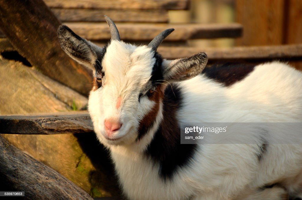 goat looking at the camera : Stock Photo