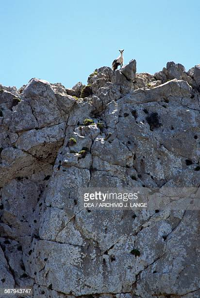 Goat on a rocky peak Karidi Plateau Crete Greece