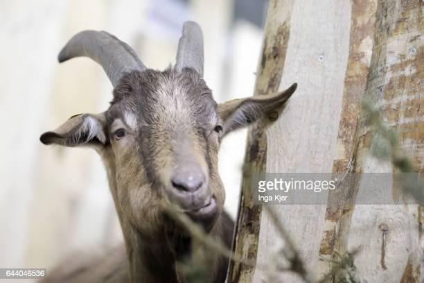 Goat on February 06 2017 in Berlin Germany