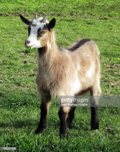 Goat On Grassy Field