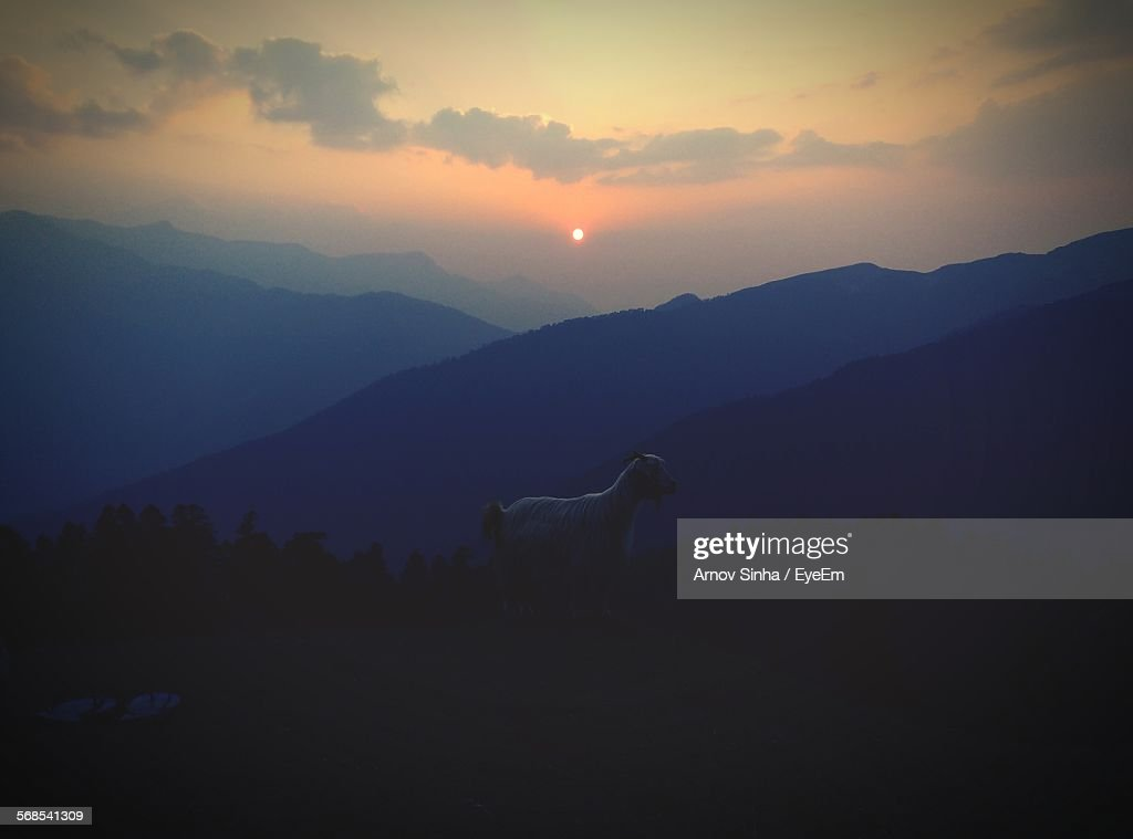Goat On Hill At Bedini Bugyal During Sunset : Stock Photo