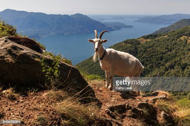 goat (capra) on monte morissolo, lago maggiore, verbano-cusio-ossola province, piedmont region, italy - province of verbano cusio ossola stock pictures, royalty-free photos & images