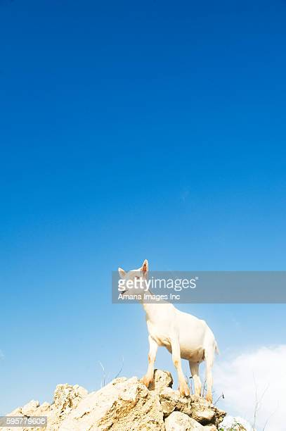 Goat on top of rocks