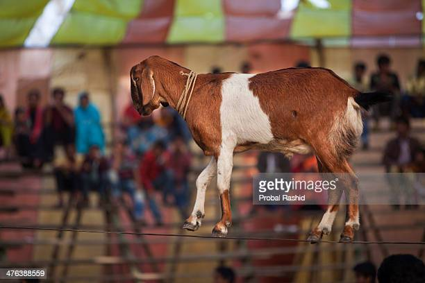 A goat performing on a 'high wire' in a Circus in front of a sparse crowd Bangladesh has a long history of traditional circus troupes Currently about...