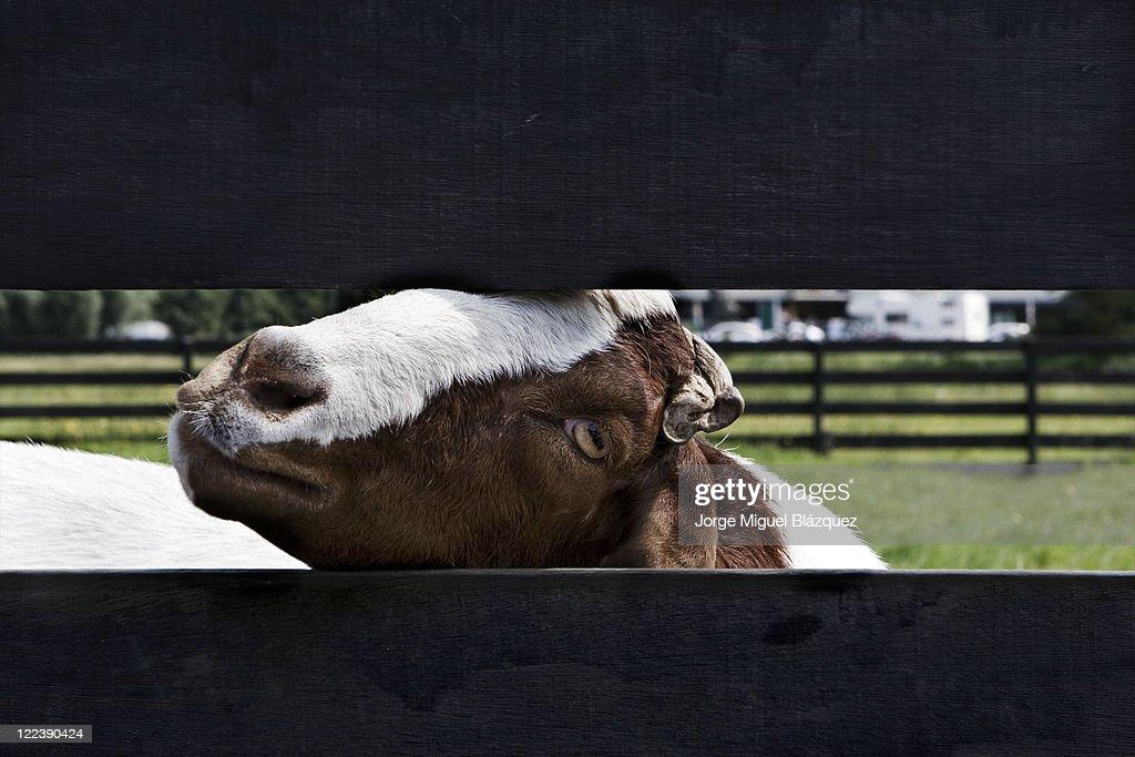 Goat : Stock-Foto