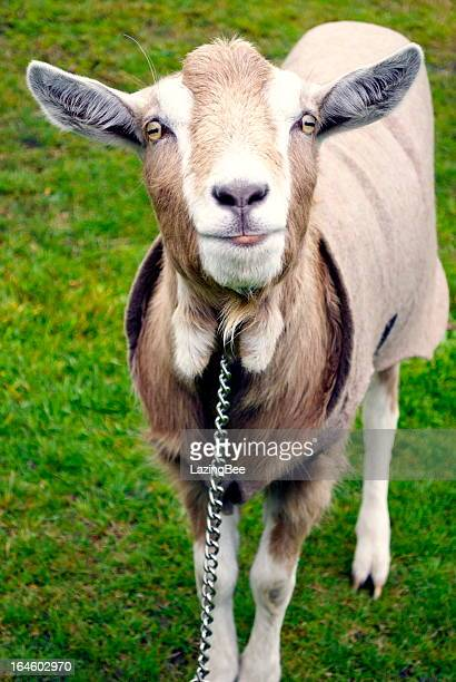 De chèvre