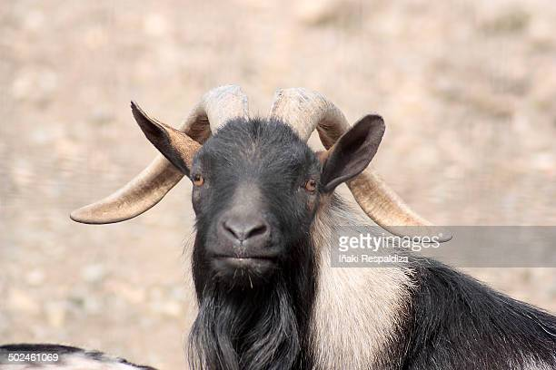 goat - iñaki respaldiza stock pictures, royalty-free photos & images