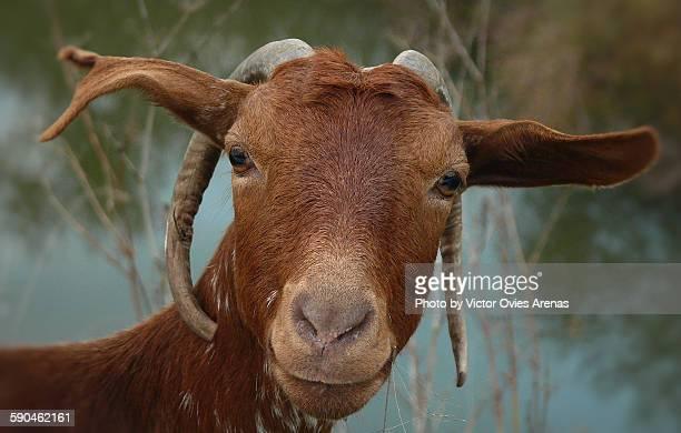 goat - victor ovies fotografías e imágenes de stock
