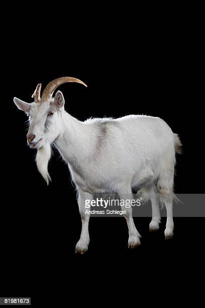 a goat - goats stock pictures, royalty-free photos & images
