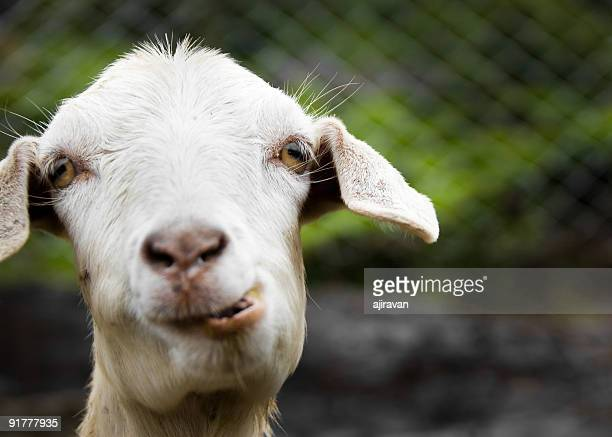 goat - goats stock pictures, royalty-free photos & images