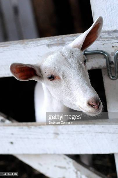 goat - chatham new york state stock pictures, royalty-free photos & images
