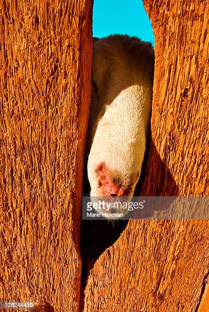 Goat poking his head through a wood door in Nefta, Tunisia