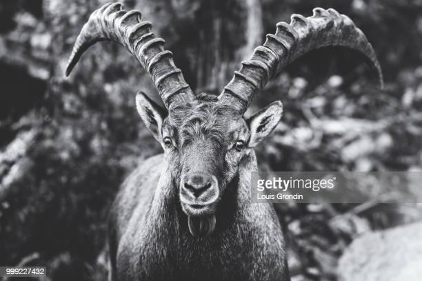 Goat portrait 1