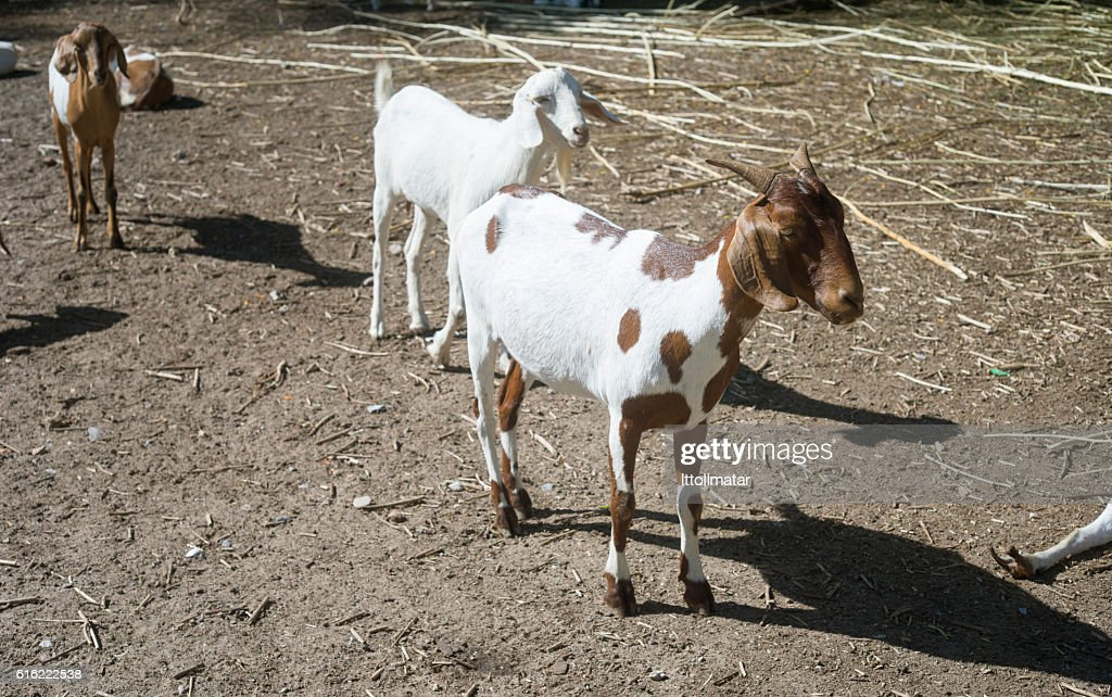 goat portrait, goat standing on a field,filtered image,selective focus : Stock Photo