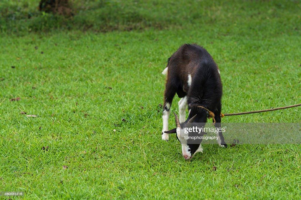 Goat portrait : Stock Photo