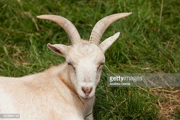 Goat resting in grass