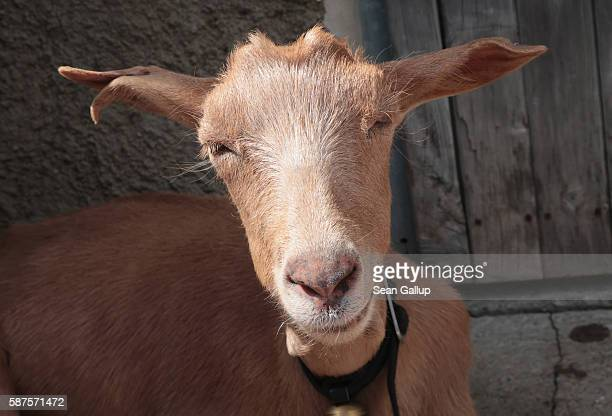 A goat sits outside a hut in the Raetikon mountain range on August 4 2016 near Brand Austria The Raetikon mountains part of the Central Eastern Alps...