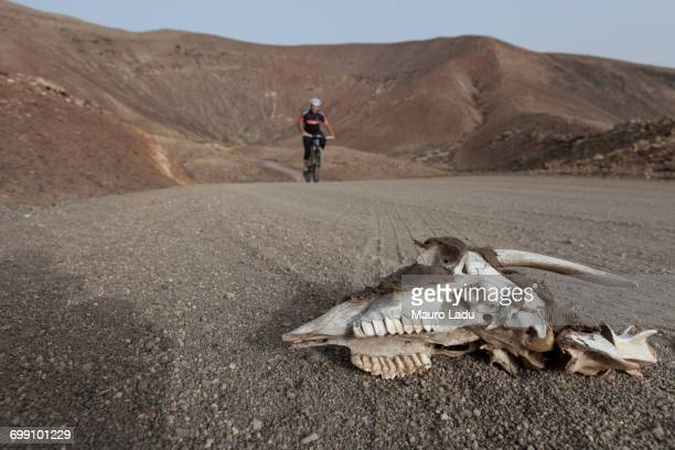 Goat skull and bones in the foreground with a cyclist biking on a dirty road in the background in a desert and volcanic landscape. Fuerteventura, Canary Islands.