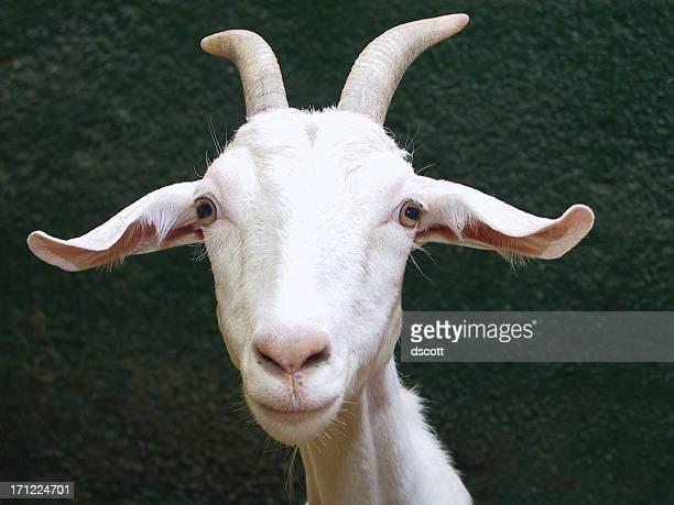 Goat Smirk