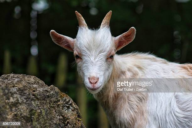 Goat Standing By Rock