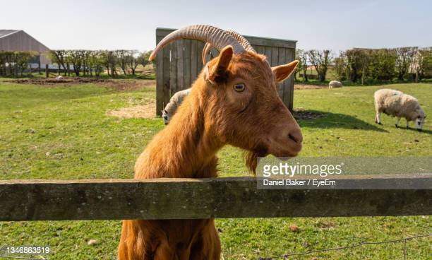 goat standing in a field - herbivorous stock pictures, royalty-free photos & images