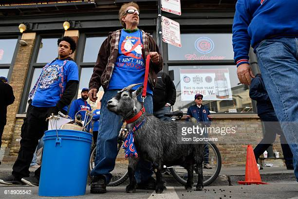 A goat stands outside prior to the 2016 World Series Game 3 between the Cleveland Indians and the Chicago Cubs on October 28 at the Wrigley Field in...
