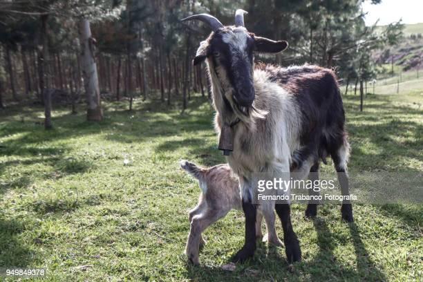 Goat suckling kid