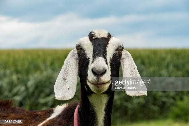 goat up close on a farm - goats stock pictures, royalty-free photos & images