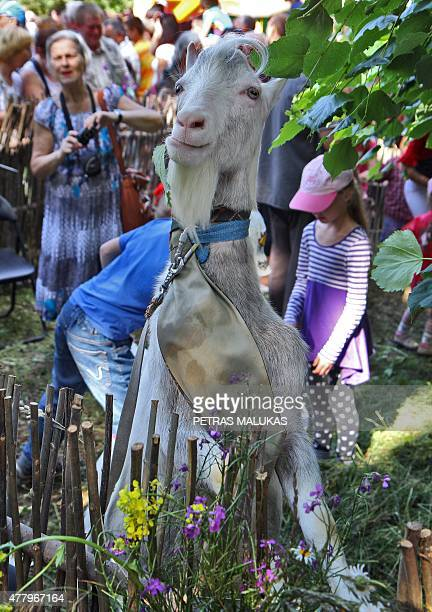 A goat waits for the start of a goat beauty contest in Ramygala Lithuania on June 20 2015 Ramygala was called the capital of Goats in the XVI century...