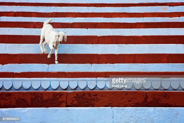 Goat walking down freshly painted stairs on the ghats of Varanasi Uttar Pradesh India