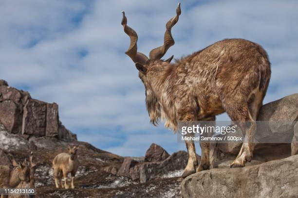 a goat with big horns (mountain goat markhur) stands on a rock - markhor stock photos and pictures