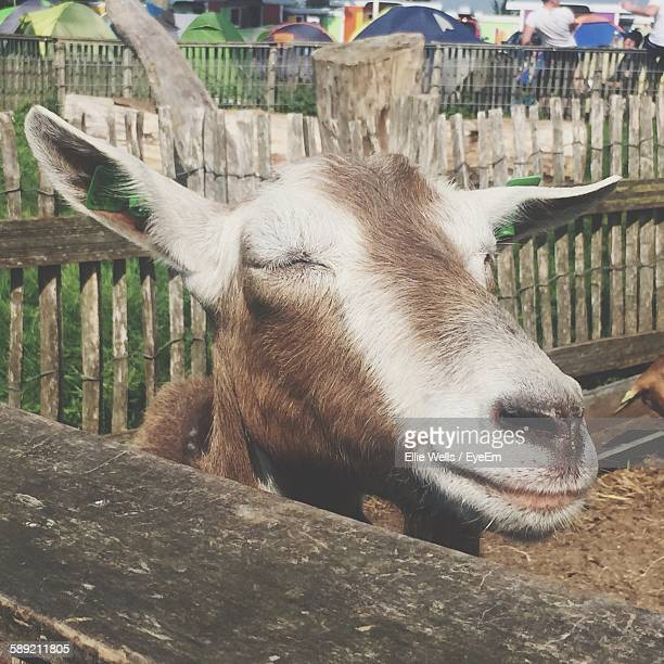 goat with eyes closed in animal pen - ellie brown stock pictures, royalty-free photos & images