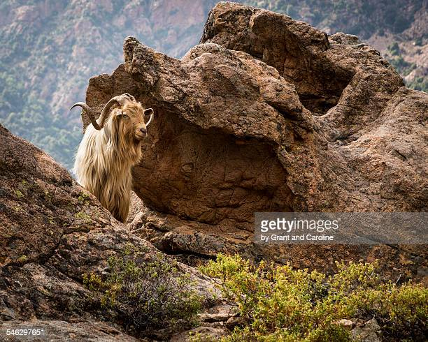 Goat with long hair on mountain