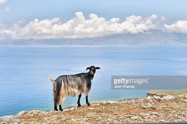 Goat with long hair posing at the edge of a cliff