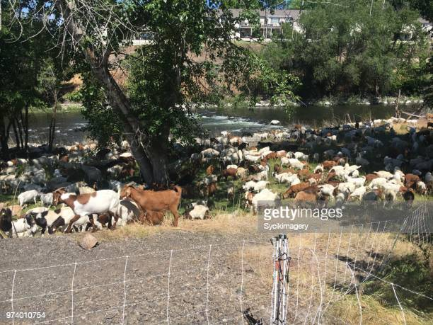 Goats along river