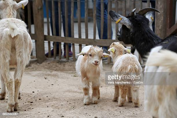 Goats And Kids At Farm