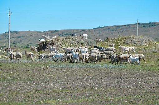 Goats and sheep grazing freely on pasture and at higher elevations. 1255302793