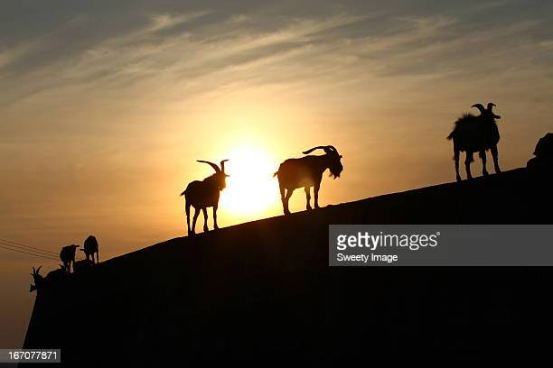 Goats and Sunset