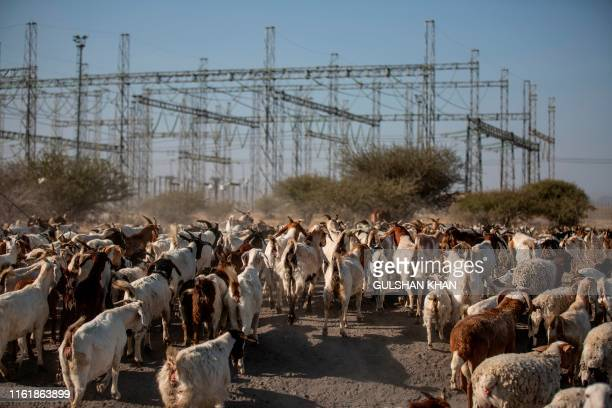 Goats are herded close to the Lonmin owned mine, now controlled by Sibanye Stillwater, in Marikana, Rustenberg where striking miners were killed...