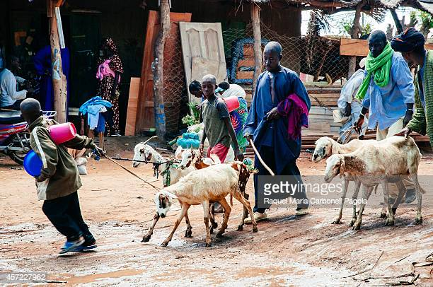 Goats are leading to the monday market for being sold