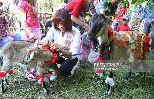 Goats are made ready for the competition during a goat beauty contest in Ramygala Lithuania on July 20 2015 Ramygala was called the capital of Goats...