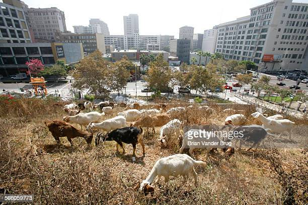 100 goats are munching their way through dense brush on a Bunker Hill lot at 4th and Hill Streets in downtown Los Angeles Monday morning for a...