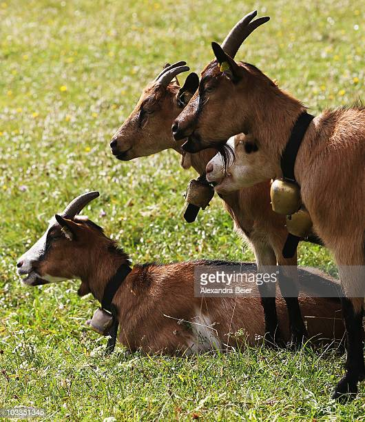 Goats are seen during a goat drive down the Alps on September 4 2010 near Mittenwald Germany Every year cows sheep and goats are driven down the...