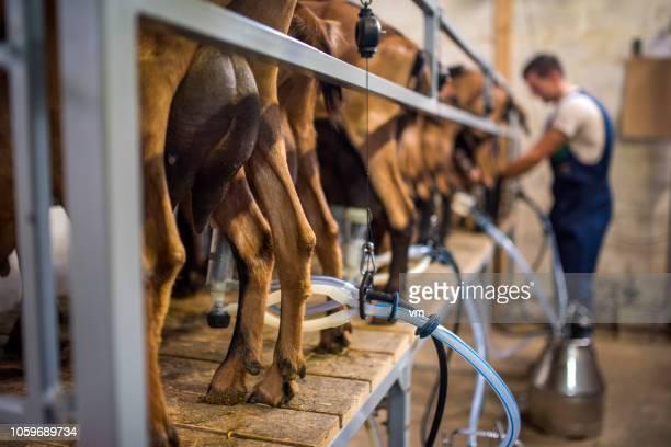 納屋で搾乳の駅でヤギ - milking farm ストックフォトと画像
