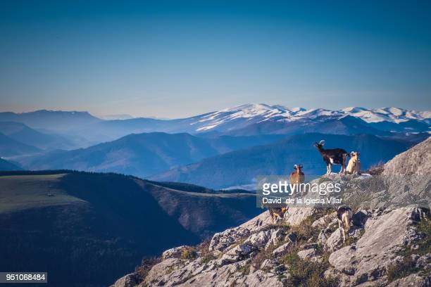 Goats at the top of a mountain