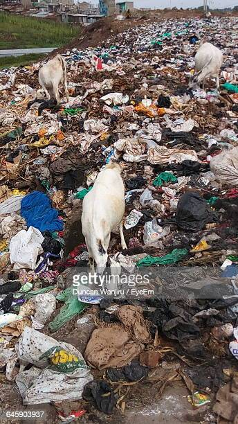goats at washed up garbage - food contamination stock photos and pictures