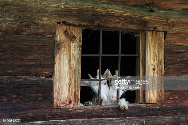 Goats at window of old wooden house