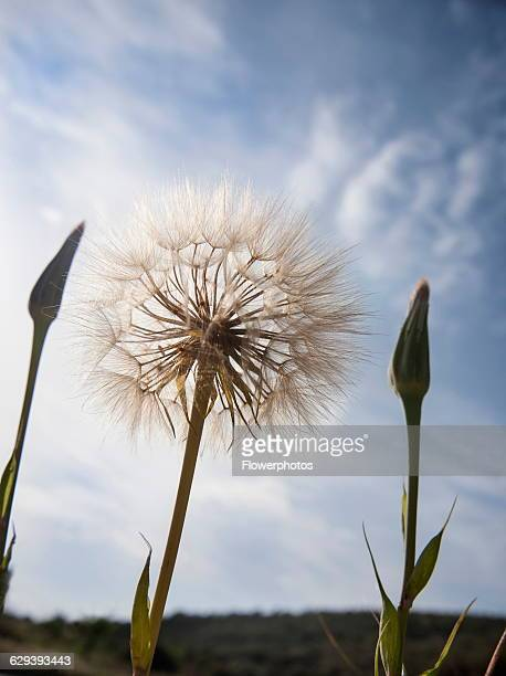 Goat's beard Tragopogon pratensis seedhead similar to Dandelion clock Dramatic close view against blue sky with unopened buds either side